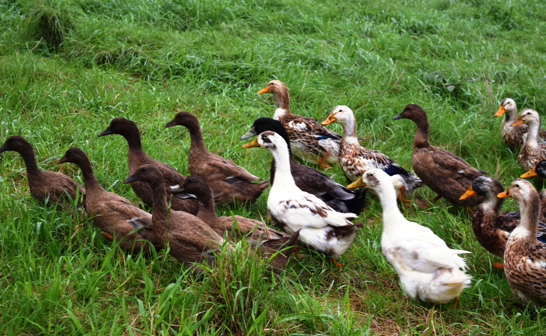 Ducks in a Row Family Farm